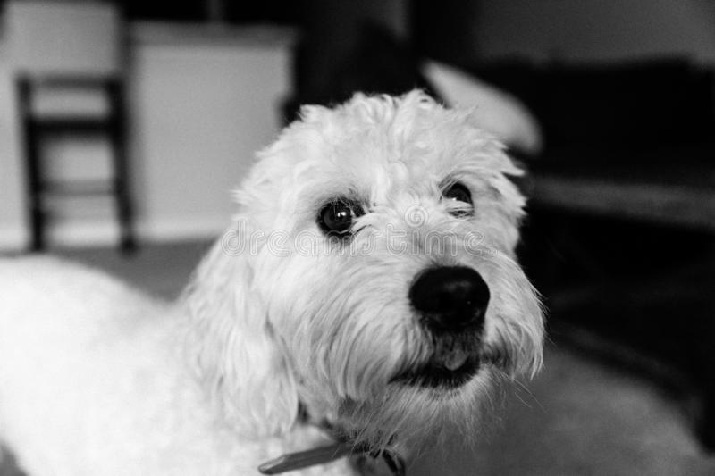 Cute White Mini Golden Doodle Puppy Dog with Soft Curly Fur Playing Inside Home Smiling For Camera Portrait stock photography