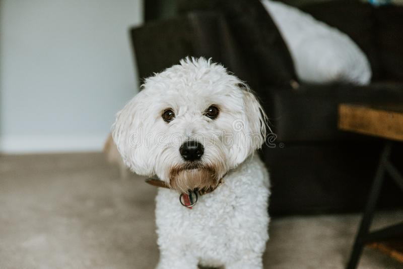 Cute White Mini Golden Doodle Puppy Dog with Soft Curly Fur Playing Inside Home Smiling For Camera Portrait stock images