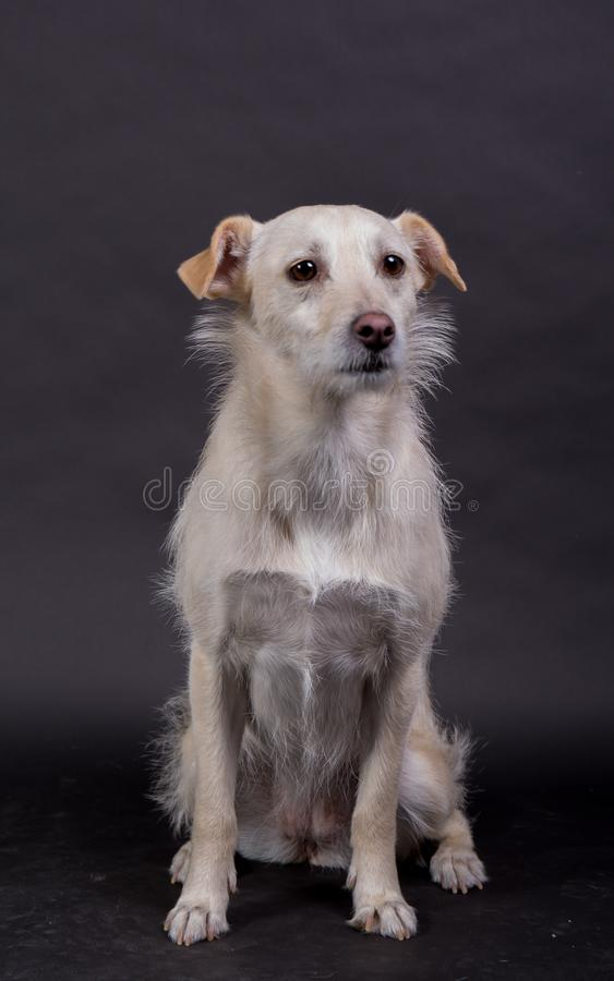 Cute white mixed breed dog looking kind of sad stock image