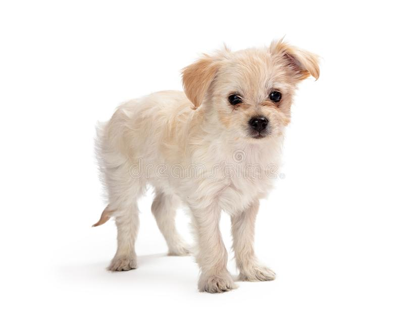 Cute white mixed small breed puppy stock photo