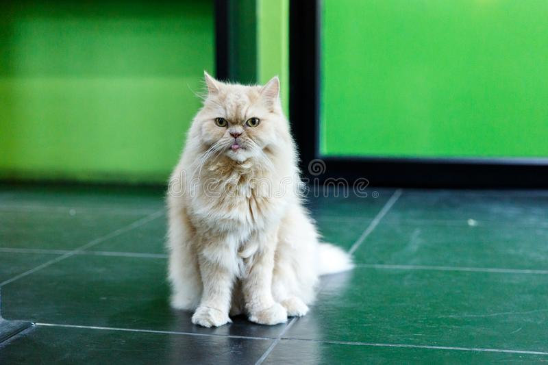 Cute White Persian cats on the floor royalty free stock photo