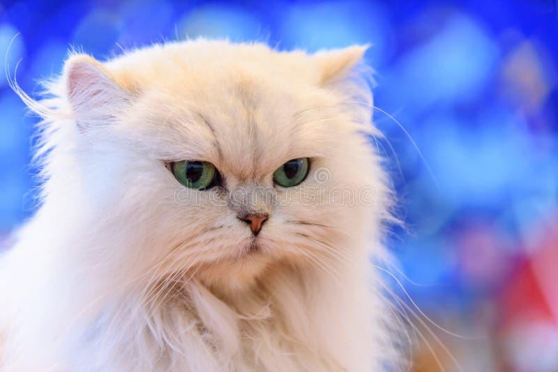 White Persian cats royalty free stock photos