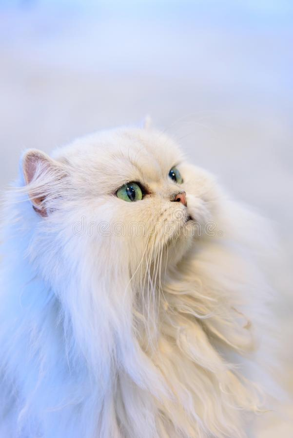 White Persian cats stock image