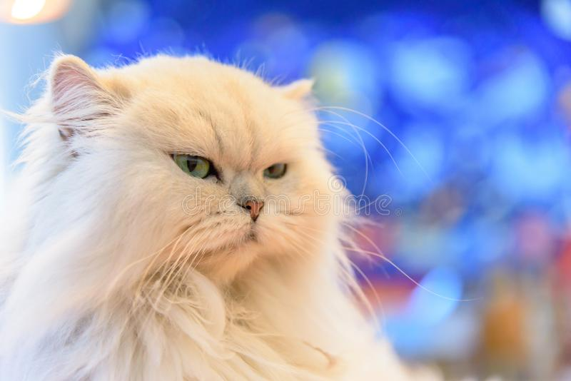 White Persian cats royalty free stock photography