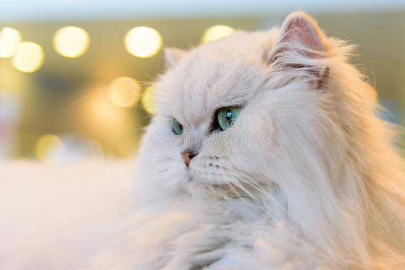 White Persian cats stock photography