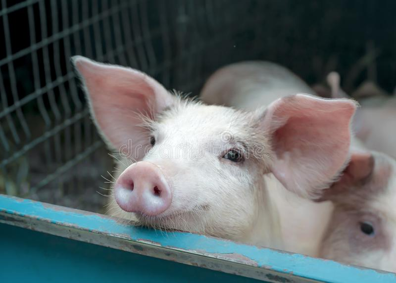 Cute white pink meat breed pig on sale at the local village market stock photo
