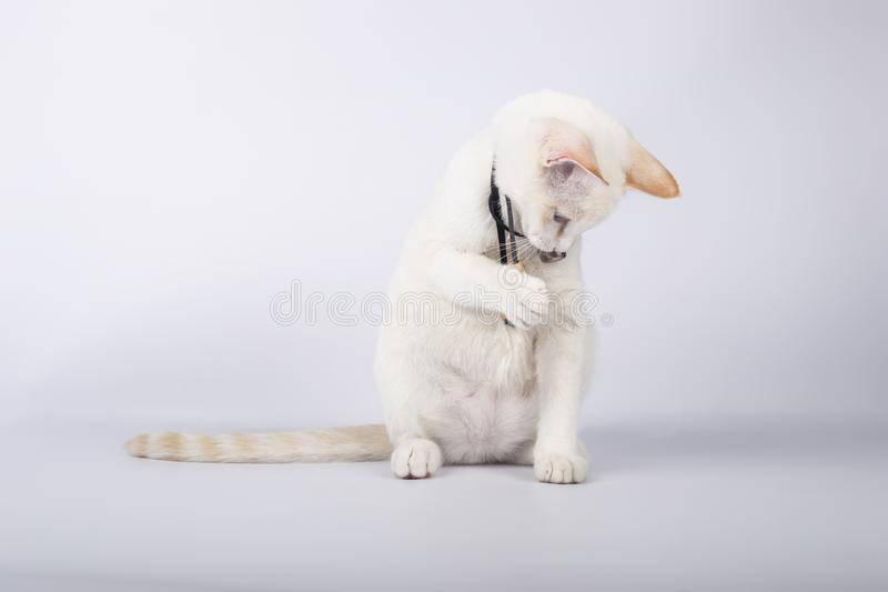 Cute white  playing with a feather collar on white background. Cute white playing with a feather collar on white background royalty free stock photography