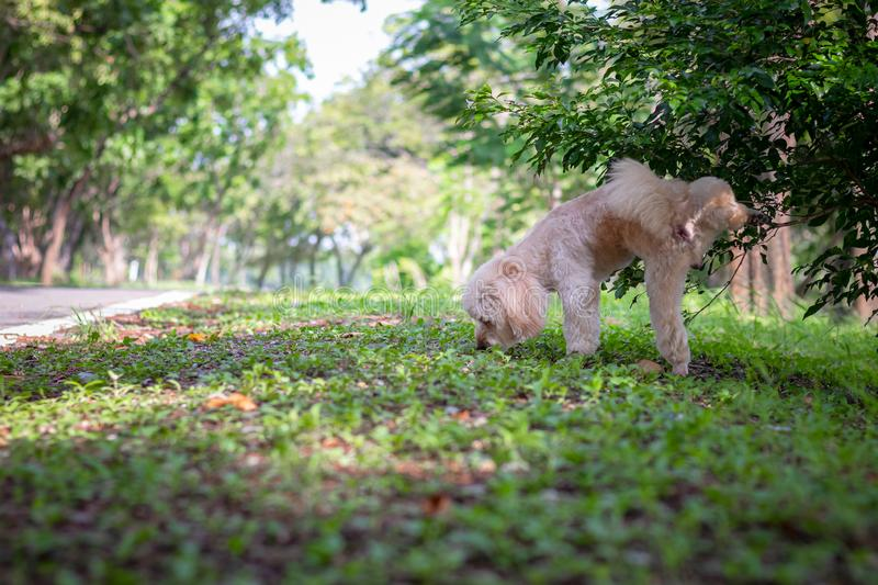 Cute white poodle dog on green park background, background nature, green, animal, relax pet. Puppy poodle dog standing stock image