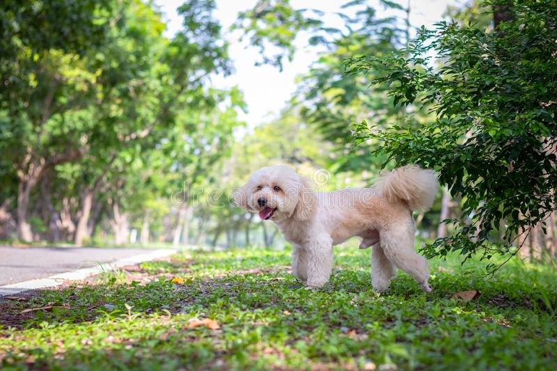 Cute white poodle dog on green park background, background nature, green, animal, relax pet, puppy poodle dog standing looking,. Animal funny stock images
