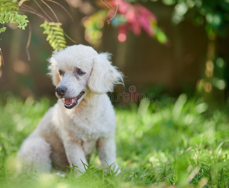 Cute white poodle dog royalty free stock images