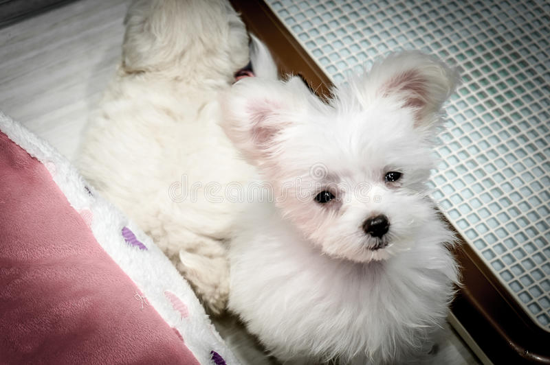 A cute white puppy in a pet shop in Osaka, Japan - November 2016. royalty free stock photos