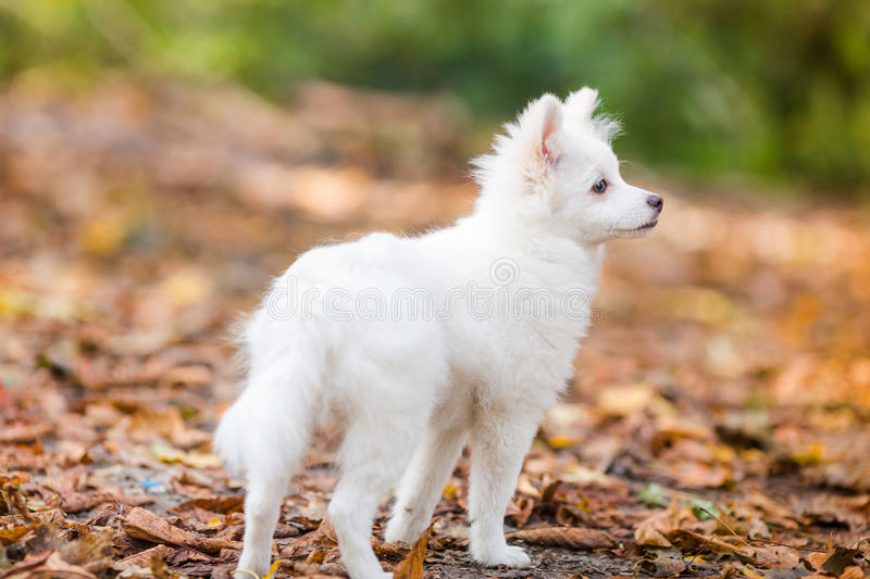 Amazing German Spitz Canine Adorable Dog - cute-white-puppy-pomeranian-spitz-outdoor-autumn-leaves-78663774  Perfect Image Reference_41659  .jpg