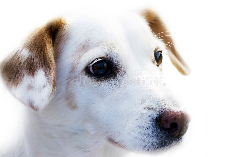 Cute white puppy portrait royalty free stock photography