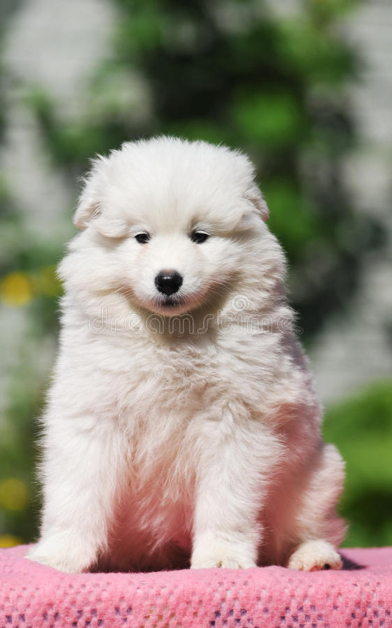 Cute white puppy portrait. Of samoedt sits and looking at camera stock photography