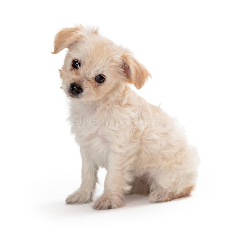 Cute White Puppy Sitting Tilting Head royalty free stock image