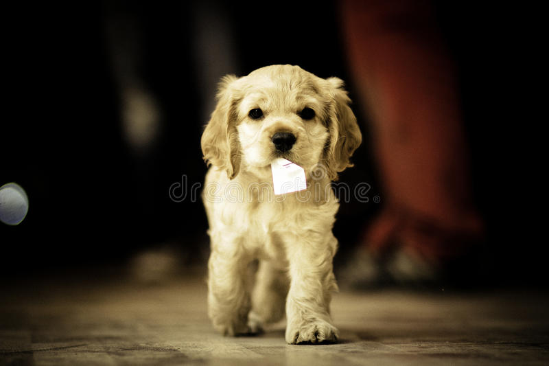 Cute White Puppy royalty free stock photos