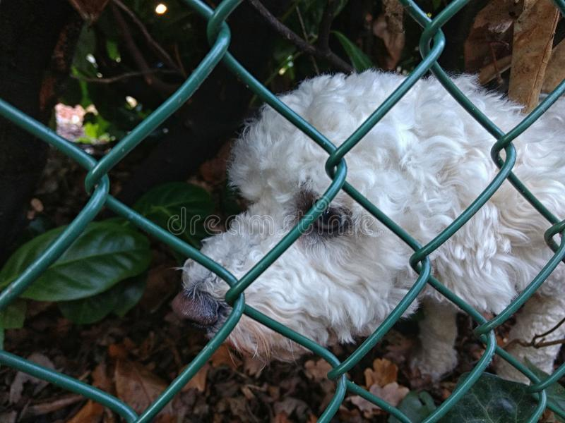 Cute white puppy trying to find its way home royalty free stock photo