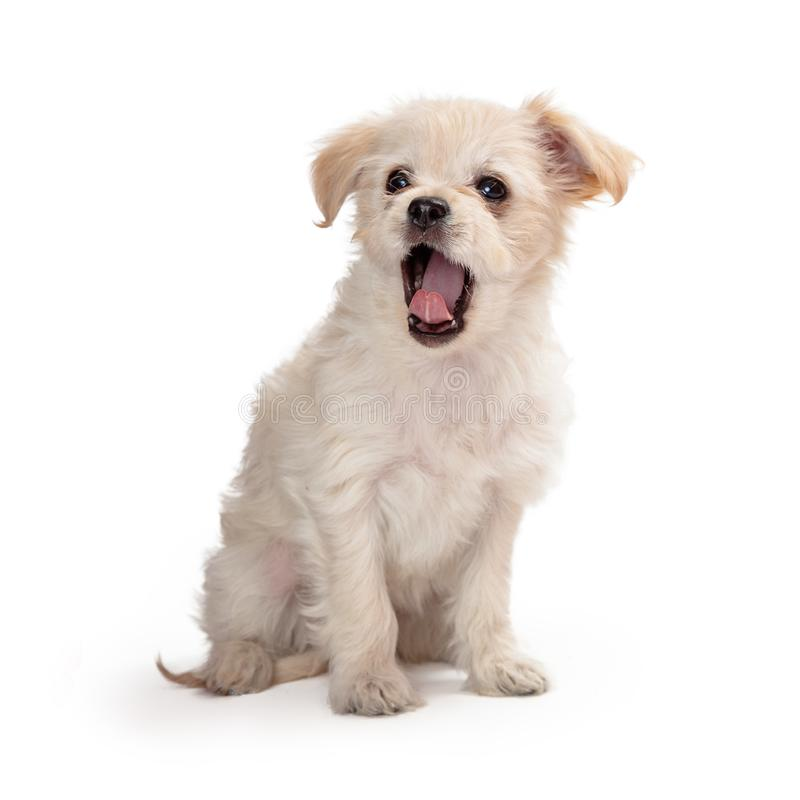 Cute White Puppy Yawning stock image