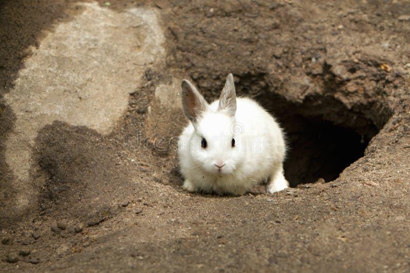 Cute White Rabbit leaving burrow royalty free stock image