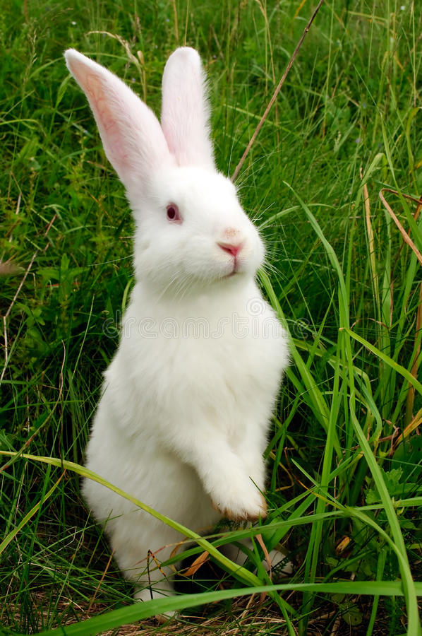 Cute White Rabbit Standing on Hind Legs. A cute white baby rabbit standing on hind legs in green grass royalty free stock photos