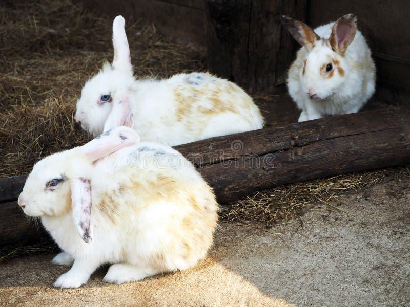 Cute White Rabbits at the City Zoo stock photo