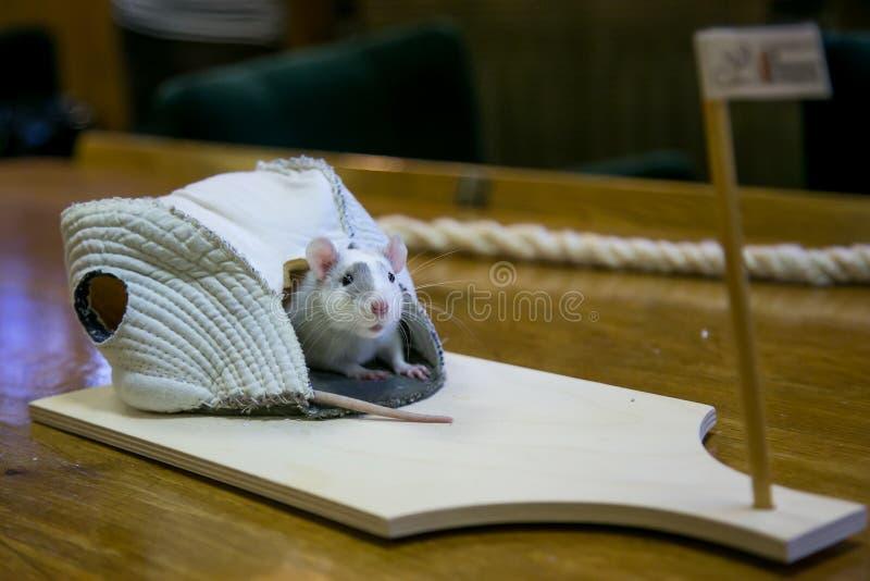 Cute white rat royalty free stock image
