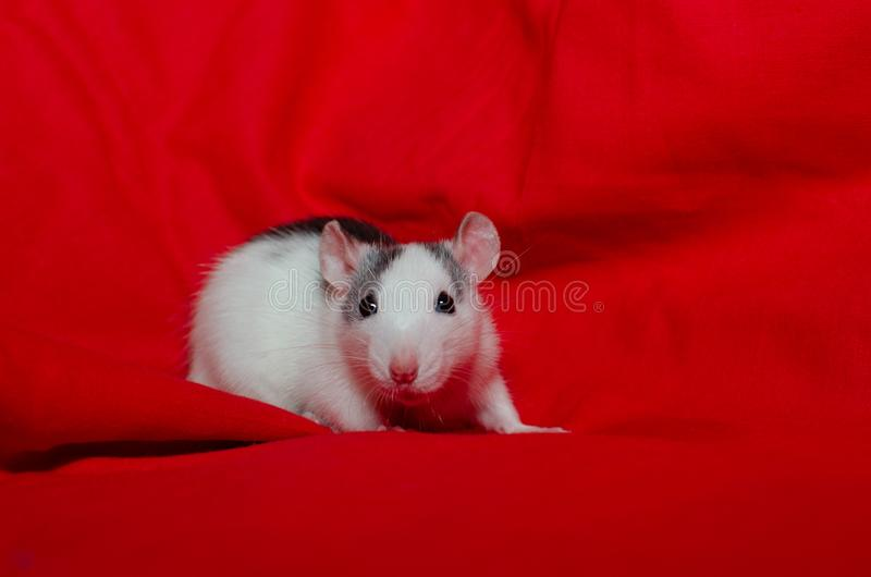 Cute white rat on the red background with copy space, the christmas mouse. Symbol of the new year 2020 in the Chinese. Cute white rat on the red background, the royalty free stock image