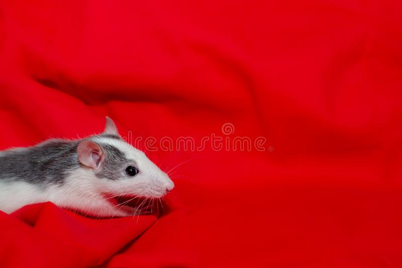 Cute white rat on the red background with copy space, the christmas mouse. Symbol of the new year 2020 in the Chinese stock photos