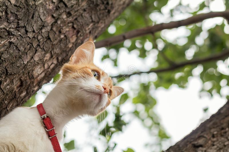 Cute white-and-red cat in a red collar on the tree. Cat is staring at something stock image