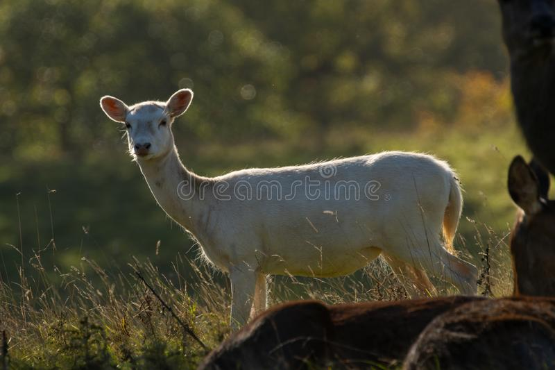 Cute white Roe Deer with big ears. royalty free stock image