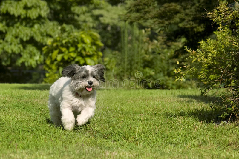 Cute white running dog. Fluffy white dog with floppy ears running in the yard stock photos