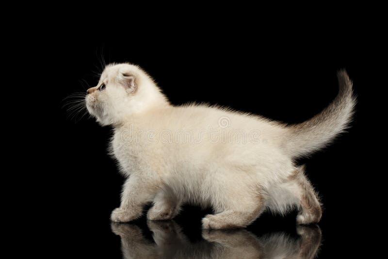 Cute White Scottish Fold Kitten Walking, side view Isolated Black royalty free stock photo