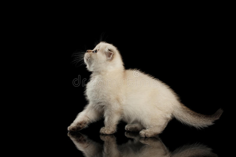 Cute White Scottish Fold Kitten Walking, side view Isolated Black stock photography