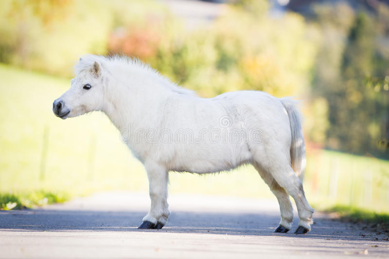 Cute white Shetland pony standing on the road. royalty free stock images
