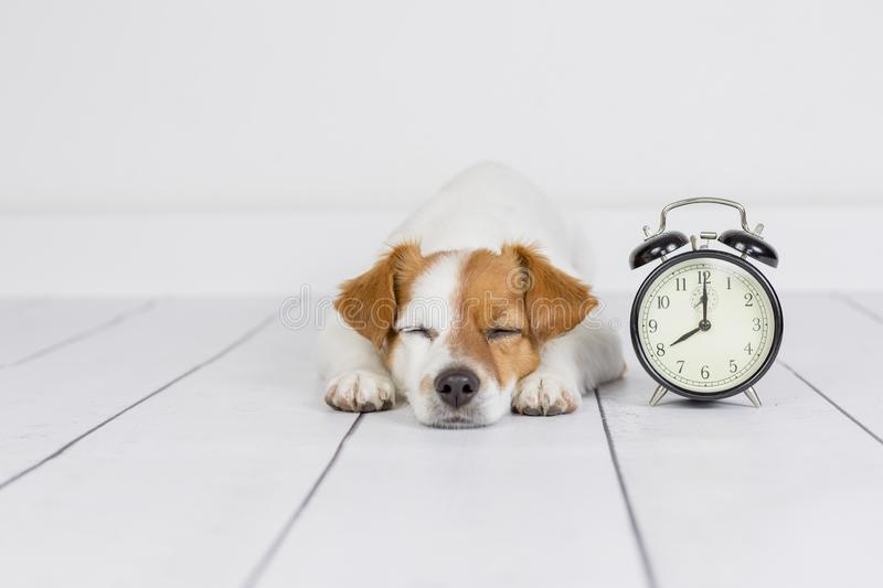 Cute white small dog lying on the floor and sleeping. alarm clock with 8 am besides. Wake up and morning concept. Pets indoors royalty free stock photos