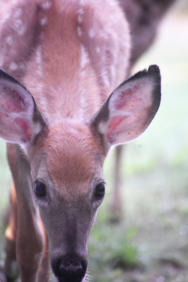 Cute white tailed deer with its head bowed. Sweet young white tailed deer with its head bowed stock image