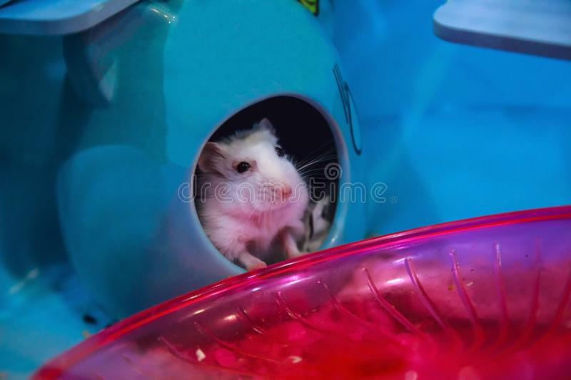 Cute white Winter White Dwarf Hamster begging for pet food with innocent face in house. Winter White Hamster is known as Winter Wh. Ite Dwarf, Djungarian or royalty free stock photos