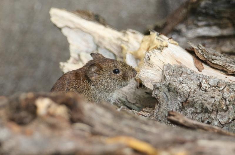 A cute wild Bank Vole, Myodes glareolus foraging for food in a log pile in woodland in the UK. stock images