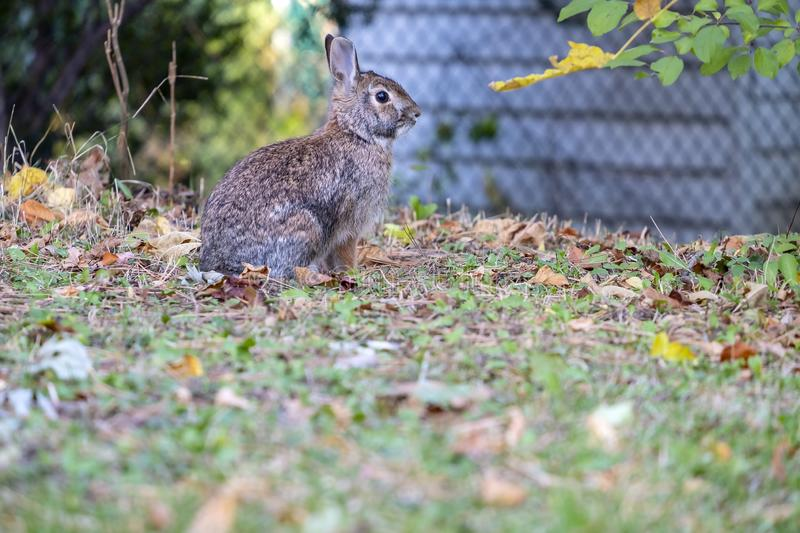 A Cute Wild Brown Bunny Rabbit Sitting on Fallen Leaves in a Suburban Neighborhood. Closeup of a Cute Wild Brown Bunny Rabbit Sitting on Fallen Leaves in a stock photos