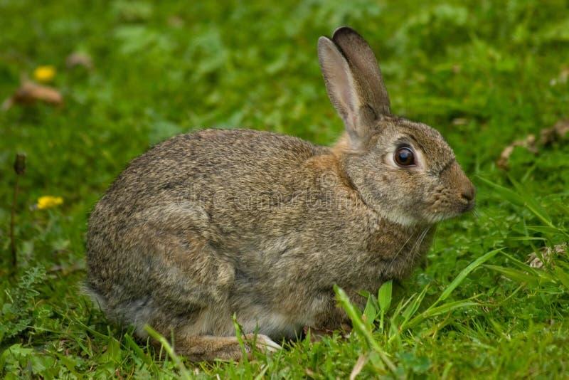 Cute Wild European Rabbit. A cute and furry wild European bunny rabbit