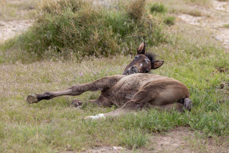 Cute Wild Horse Foal Bedded stock foto