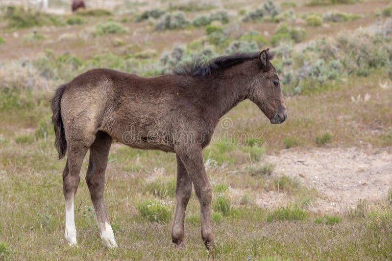 Cute Wild Horse Foal in de woestijn van Utah stock afbeeldingen