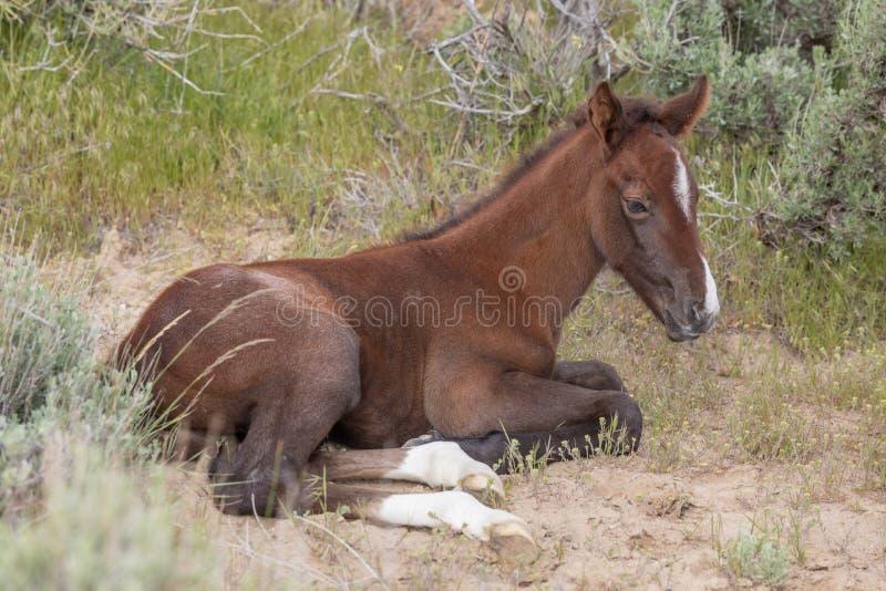Cute Wild Horse Foal Bedded. A cute wild horse foal in the Utah desert in spring stock photos