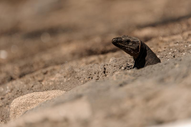 Cute wild lizard looking out of a ground hole in stone. Cute small wild lizard head looking out of a ground hole in a mountain stone royalty free stock photos
