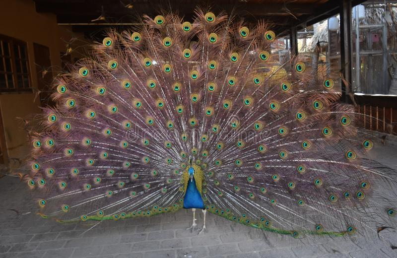 Beautiful and colorful peacock with large feathers stock photo