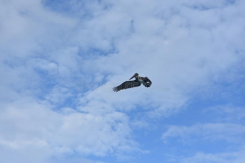 Adorable wild pelican flying through the blue sky royalty free stock photography