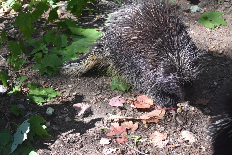 Cute wild porcupine walking through leaves in the sunlight royalty free stock photos
