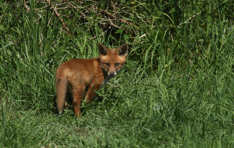 A cute wild Red Fox cub Vulpes vulpes standing in the long grass. It has followed its mother from the den. An adorable wild Red Fox cub Vulpes vulpes standing stock image
