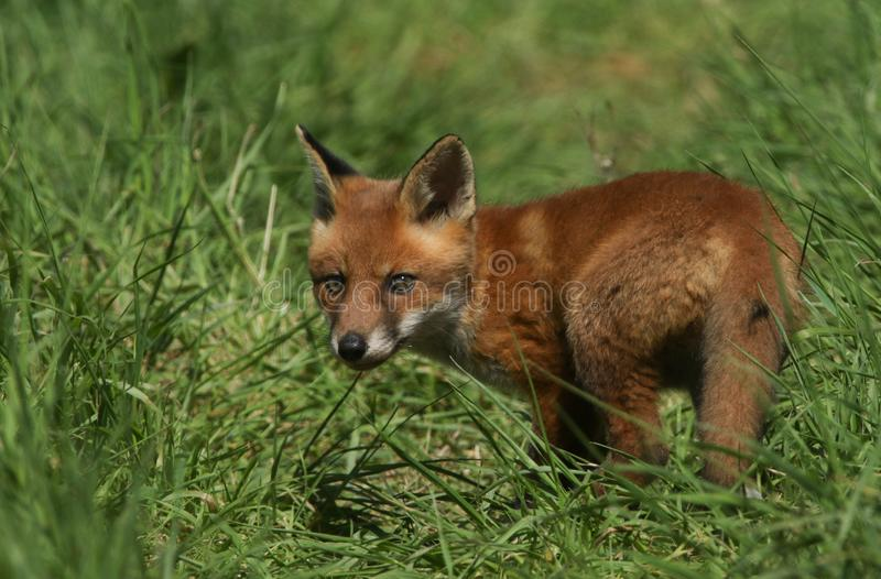 A cute wild Red Fox cub Vulpes vulpes standing in the long grass. It has followed its mother from the den. An adorable wild Red Fox cub Vulpes vulpes standing stock images