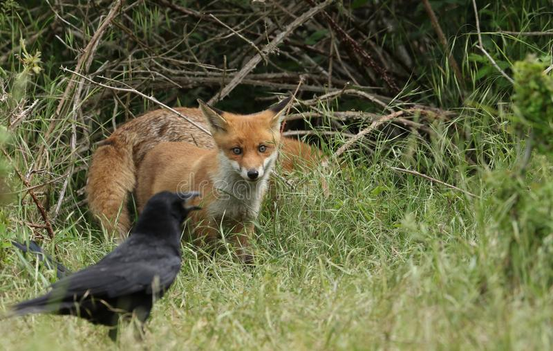 A cute wild Red Fox cub, Vulpes vulpes, standing in the long grass next to the vixen. It is being watched by a Crow. royalty free stock photos